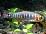 小型美魚です! ダリオ・エリスロミクロン 10匹セット