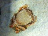 [海水] 原始的なカニの仲間です!一属一種! アサヒガニ