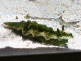 [海水] 緑地にイエロースポットが綺麗! ミアミアラウミウシ グリーン (ケラトソマ・シヌアタ)