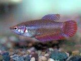 オスばかりが注目されますが、混泳魚にもどうぞ! ベタ ♀ 5匹!