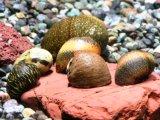 カラーカノコ貝