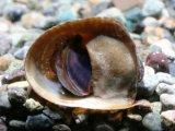 末広がりの貝殻です! バットマンスネール
