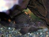 黒とオレンジのメカっぽいカラー! タイガーフィンサタンプレコ