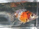 真珠の鱗を持つ金魚! 五色パール