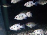 巻貝ハンター トーマシー 5匹