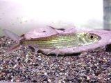 アフリカの牙魚! スレンダー・タイガーフィッシュ