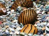 イナズマカノコ貝