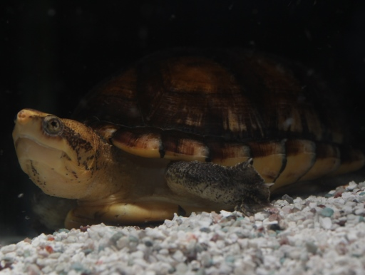 画像1: おとぼけ顔が可愛い! シロクチドロガメ アダルト