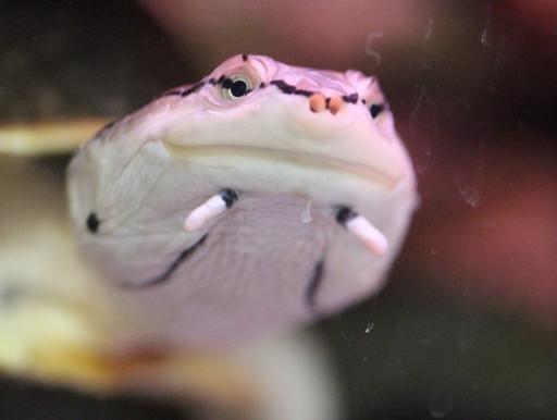 画像1: カエル顔! ヒラリーカエルガメ 20cmオーバー ♂