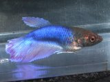 水中の美しき踊り子! ハーフムーン・ベタ (ブルー)