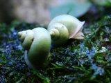 [完売です] 殻がライムグリーン! 沖縄産 アオミオカタニシ