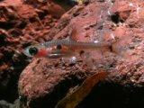 小型美魚! ボララス・マキュラータ 10匹セット
