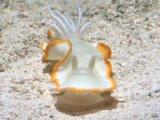 [海水] 真っ白な体に黄色い縁取りが綺麗! メレンゲウミウシ(グロッソドリス・パリィイダ?)