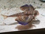 【完売です】 [海水] 激レア!いつもの種類より良く泳ぎます! セミホウボウsp.ブラジル産