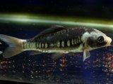 [完売です] カッコよすぎなドイツ鯉! 九紋竜(10cmサイズ)