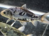 カッコよすぎなドイツ鯉! 九紋竜(15cmサイズ)#101-11