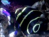 [完売です][海水] 大型ヤッコの幼魚です!フレンチエンゼル juv.