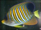[完売です] [海水] 中型ヤッコです!ニシキヤッコ
