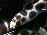 [海水] ウミヘビ科のお魚です! モヨウモンガラドウシ