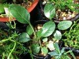 ヒトデ型の花が咲きます! [多肉][塊根][クワ科] ドルステニア・フォエチダ(?)  Dorstenia foetida(?) #021-03