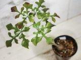 ウコギ科のコーデックス! [多肉][塊根][ウコギ科] クッソニア・ズルエンシス Cussonia zuluensis #306