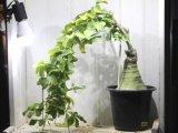 幻蝶カズラとかブンブク茶釜とか呼ばれます! [多肉][根塊] アデニア・グラウカ(幻蝶カズラ) LL  Adenia glauca
