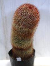 赤く密に入った短い刺が可愛らしい! [サボテン][マミラリア] 旭日丸 Lサイズ Mammillaria rhodantha