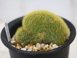 突然変異個体!  [サボテン][柱] 黄金紐・冠(綴化) Cleistocactus winteri f.crista #021