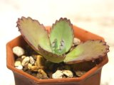 葉の縁から子供が吹いてきます! ご利益があると言われているようです!  [多肉][ベンケイソウ][カランコエ] 子宝草 Kalanchoe creanta × daigremontiana