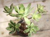 木っぽくなっています!  [多肉][ベンケイソウ][アエオニウム] 夕映、キュオニウム (Aeonium keweonium = Aeonium decorum f.variegata ) #1020-01