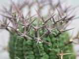 刺ではなくて花径です! [多肉][トウダイグサ科][ユーフォルビア][球状タイプ] 群星冠  Euphorbia stellaespina  LL