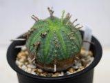 花径が長いので将来性あり! [多肉][トウダイグサ科][ユーフォルビア][球状タイプ] バリダ / 万代  Euphorbia valida #122
