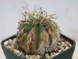 タイプ色々!お好みをセレクトしてください! [多肉][トウダイグサ科][ユーフォルビア][球状タイプ] バリダ / 万代  Euphorbia valida #125