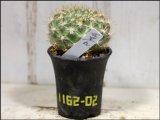 黄色い大花が咲きます!  [サボテン][花サボテン][レブチア] 花笠丸 Rebutia neocumingii ssp.neocumingii