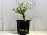 タコモノユーフォルビアです! [多肉][トウダイグサ科][ユーフォルビア][蛸物タイプ] 孔雀丸 Euphorbia flanaganii #044-01