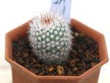 密生した刺と美しい花が魅力の種類です!  [サボテン][花サボテン][パロディア/ノトカクタス] 紅小町 Parodia(Notocactus) scopa var. ruberrimus