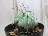 奇妙なサボテン!  [サボテン][南米球形][マツカナ] 奇仙玉 Matucana madisoniorum #309