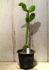 ミニ! [サボテン][団扇] 姫団扇 Opuntia(Brasiliopuntia) brasiliensis var. minor #1085-10