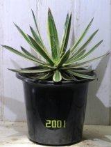 """フィラメントが美しい! [多肉][アガベ] 滝の白糸・錦 Agave schidigera f. variegata"""" #2001"""