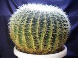 超有名種! [サボテン][強刺][エキノカクタス] 金鯱40cm Echinocactus grusonii #200-05