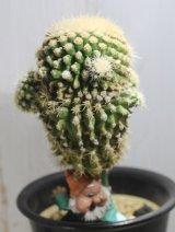 あの金鯱のモンストローサ!痛くないんです! [サボテン][強刺][エキノカクタス] 金鯱の泉(金鯱・石化・接ぎ) Echinocactus grusonii f. monst その2