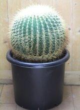 超有名種! [サボテン][強刺][エキノカクタス] 金鯱 Echinocactus grusonii 26m #2017-03