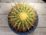超有名種! [サボテン][強刺][エキノカクタス] 金鯱 Echinocactus grusonii MLサイズ #131