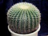 超有名種! [サボテン][強刺][エキノカクタス] 金鯱40cm Echinocactus grusonii #200-02