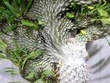 レアな突然変異個体(一文字綴化)!無理言って譲ってもらった親木です!   [多肉][キョウチクトウ科][パキポディウム]  ラメリー冠(親木) Pachypodium lameri f. monst