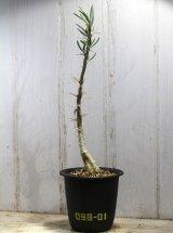 細長い刺があるパキポ!  [多肉][キョウチクトウ科][パキポディウム]  天馬空 / P.サキュレンツム Pachypodium succulentum #098-01