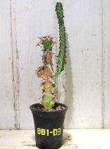 模様がキレイ! [多肉][トウダイグサ科][ユーフォルビア][柱状タイプ] 春駒 Euphorbia pseudocactus #881-03