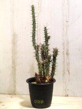 大きめ! [多肉][トウダイグサ科][ユーフォルビア][柱状タイプ] アエルギノーサ Euphorbia aeruginosa #090