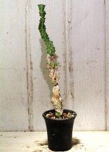 模様がキレイ! [多肉][トウダイグサ科][ユーフォルビア][柱状タイプ] 春駒 Euphorbia pseudocactus #881-05