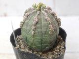 その名もベースボールプランツ!しかも子吹き!  [多肉][トウダイグサ科][ユーフォルビア][球状タイプ] 子吹きオベサ Euphorbia obesa f.prolifera #010